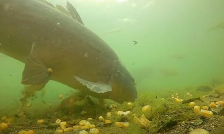 The Underwater footage of feeding carp