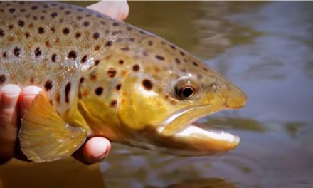Brown Trout on the Dry Fly in Southern Sweden