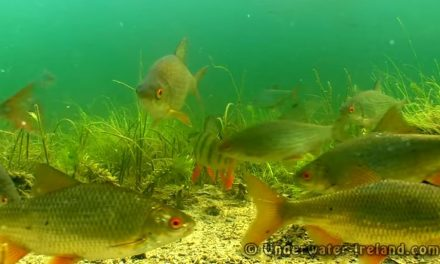 Coarse Fish Feeding Underwater