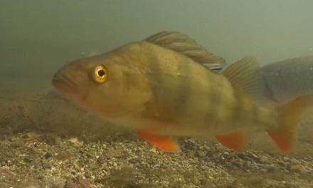 Every freshwater fish in the UK filmed underwater – Jack Perks
