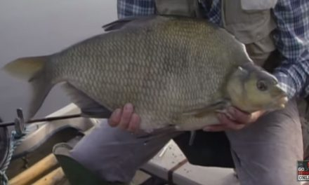 Nine Double Figure Bream on the Float