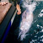 Atlantic Bluefin Tuna: A CHART for the UK
