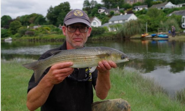 Grey Mullet – Why are they Threatened