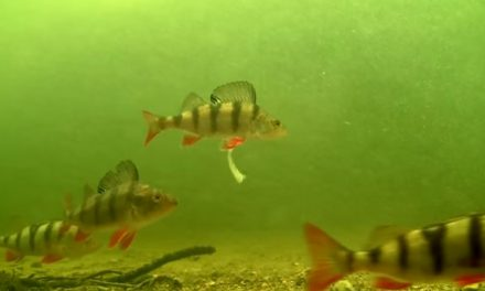 Perch hitting Fiiish Minnows underwater