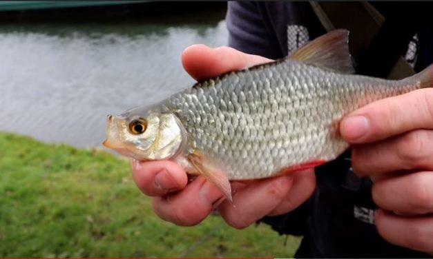 Micro Lure Fishing – Roach & Rudd on Lures!