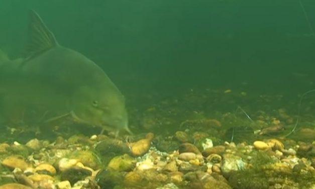 Barbel – PVA Bags Underwater Revealed