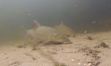 Autumn Barbel – Underwater Footage