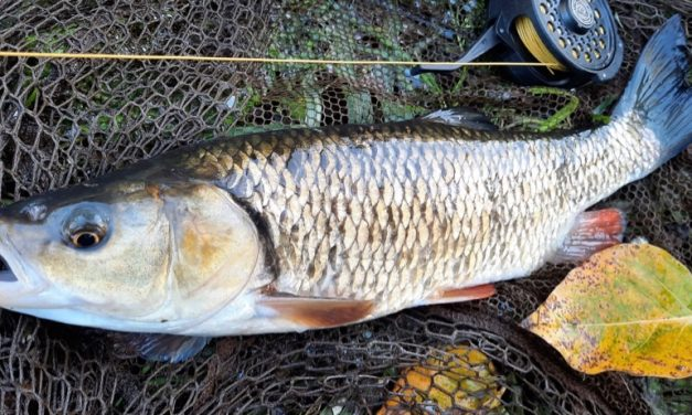 Winter Fly Fishing for Chub and Perch