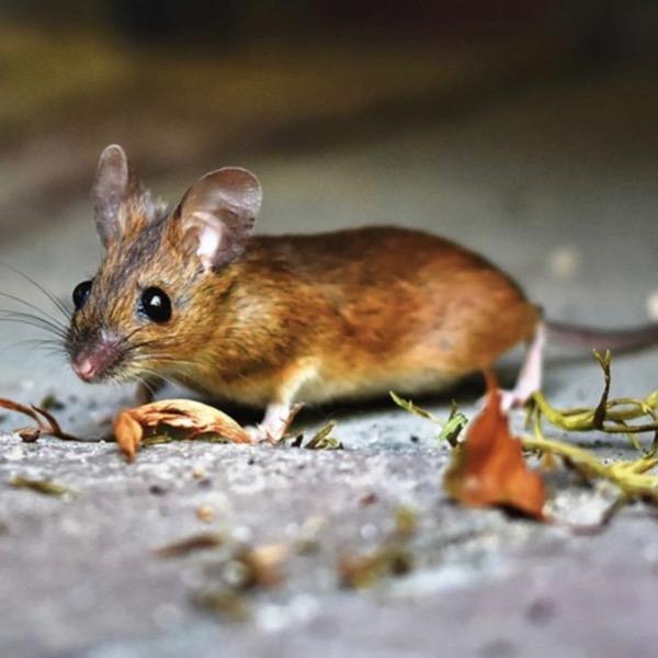 Big Trout VS Mice: Insane Footage!