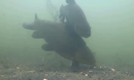 Tench on The Float – Underwater Footage