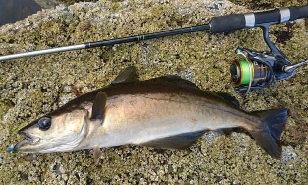 SHORE POLLACK & CODLING ON LURES