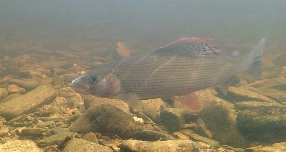 Fascinating Grayling Facts
