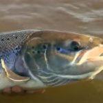 Autumnal Salmon fishing on the River tweed